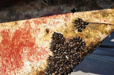 Barnacles Fouling Organism