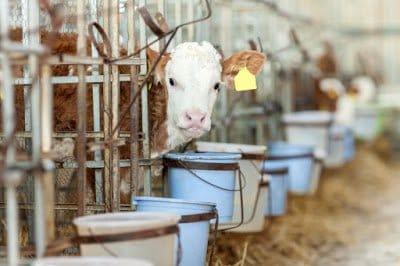 Cow Livestock Conditions