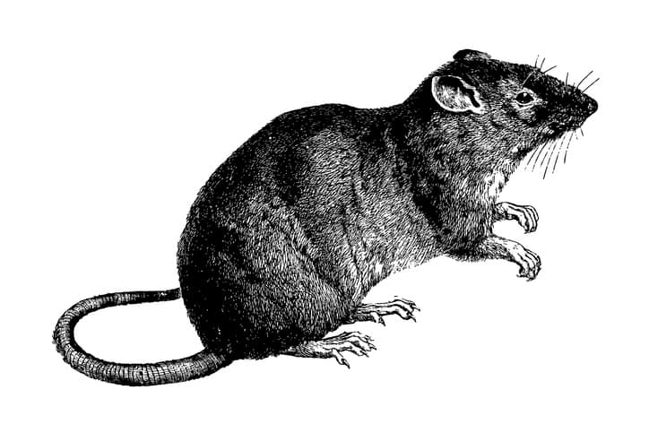 Rat Guard United States History