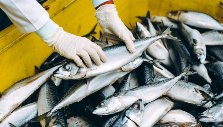 Fish catch supply being audited under FSMA accreditation for food safety.