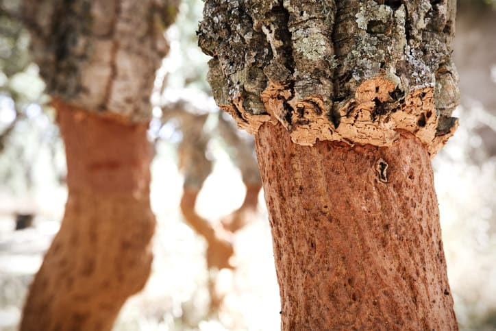A cork tree that has been harvested through ISO wine making standards.