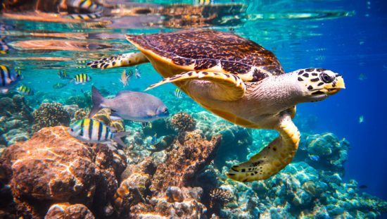 Hawksbill turtle swimming through colorful coral reef without any problematic ASA S3/SC1.4 sound exposure.
