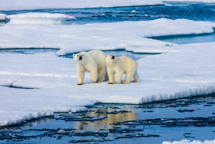 Polar bear family is forced to wander the arctic if habitat destruction from climate change is not prevented with ISO 14001.
